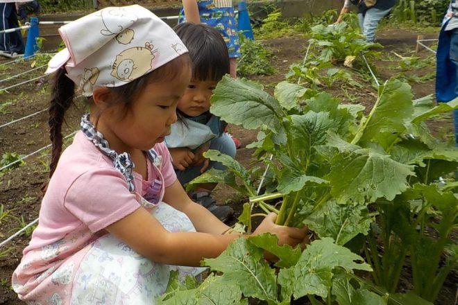 なかの幼稚園の畑でカブを収穫!そして初のお料理体験へ!